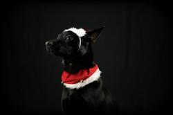 Dramatic Christmas Dog
