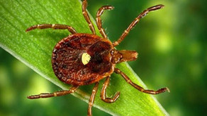 Alpha-gal Syndrome:  tick bites, red meat allergy and a possible cure