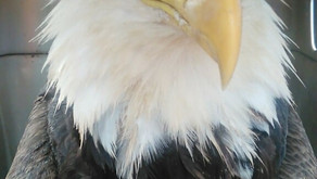 Broadbent Wildlife Sanctuary to host eagle release