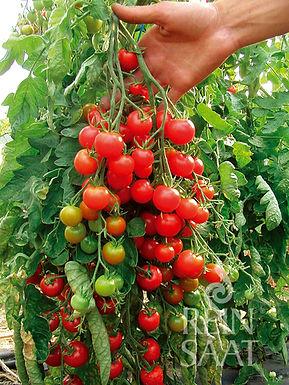 Cherrytomat Zuckertraube