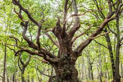 2. Chêne de Bardouville
