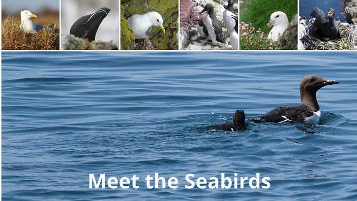 Meet the seabirds - no text.png