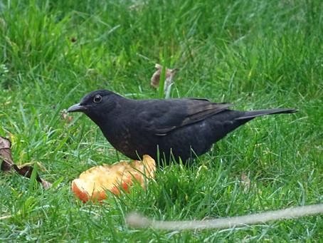 Four and twenty blackbirds?