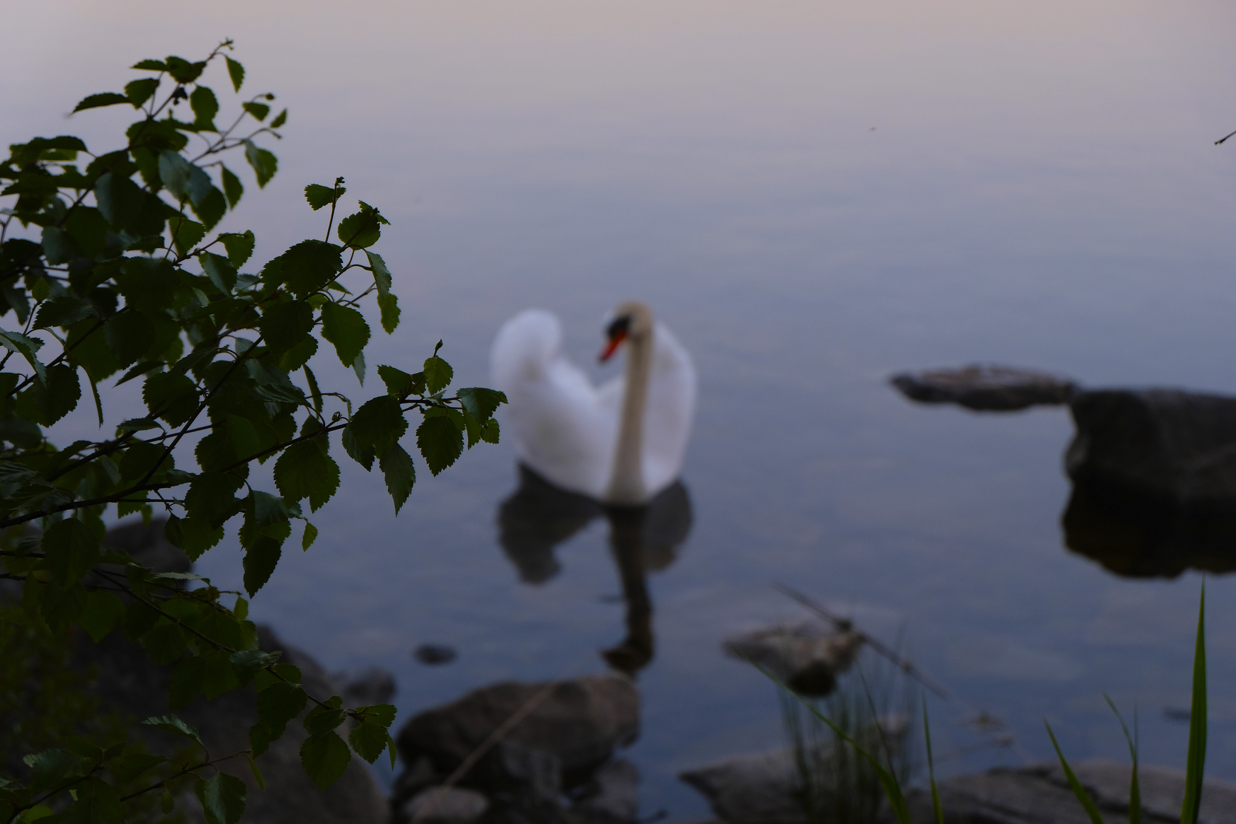 Swan Obscura