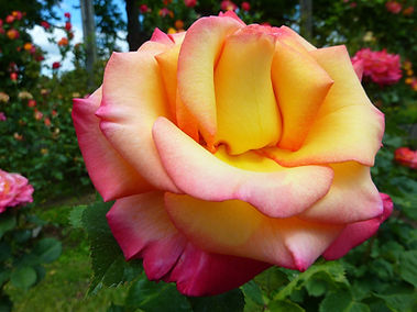 rose-278773_1920.jpg