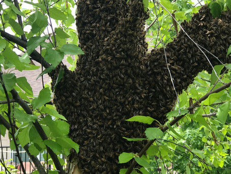 Spring Activity:  Bee Rescue and Black Locust Trees