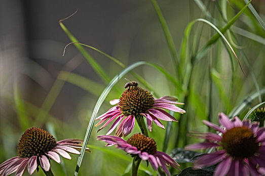Closeup of Purple coneflowers, echinacea