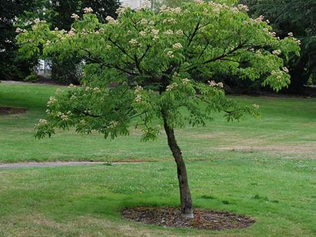 Korean Evodia Tree (Bee Bee Tree)