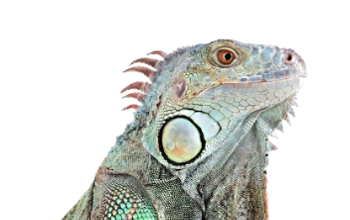 PICTURE AN EGUANA FOR YOUR SOLAR ENERGY STORAGE!