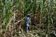 Besichtigung der Zuckerrohr Felder