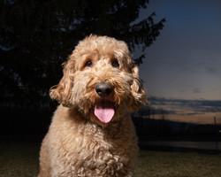 Dood Dog Photography - Goldendoodle, Doodle
