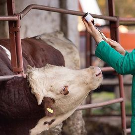 cattle-horned-syringe-514154830-Thinkstock.jpg