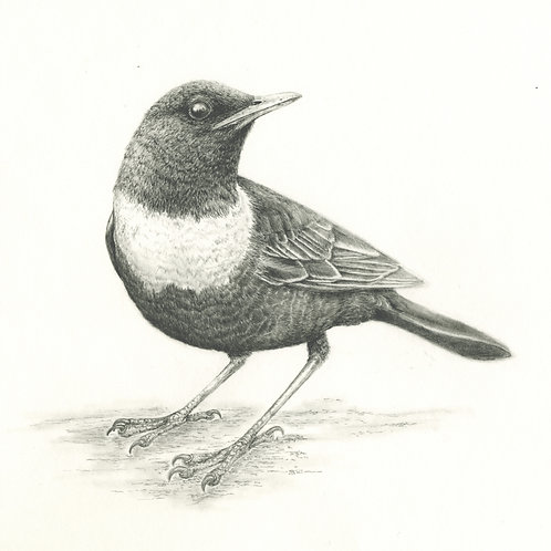 Bamford Ring Ouzel, original artwork