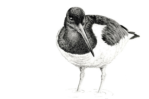 Oyster Catcher, limited edition fine art print