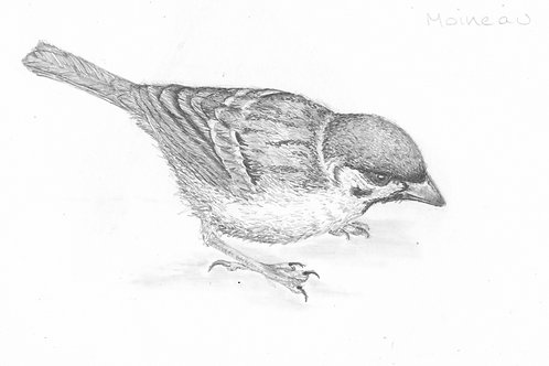 Sparrow, limited edition fine art print