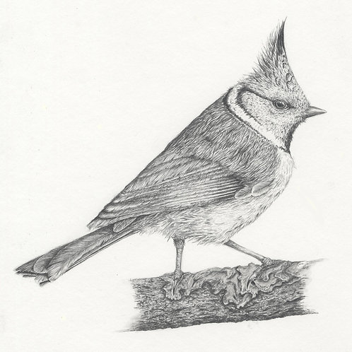 Crested Tit, limited edition fine art print