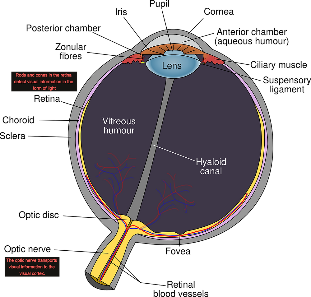 Information in the visual field is received by cells in the retina. Visual information is then transported into the brain via the optic nerve.