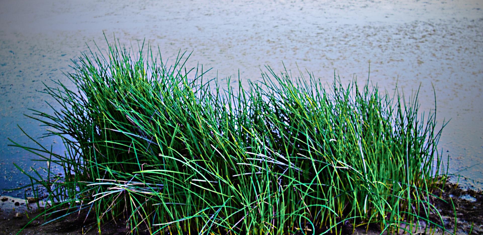 Abbott Grasses