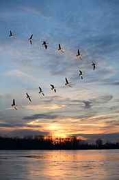 Flock of Geese Flying in V formation