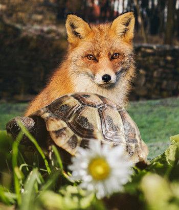 Turtle-Fox.jpg