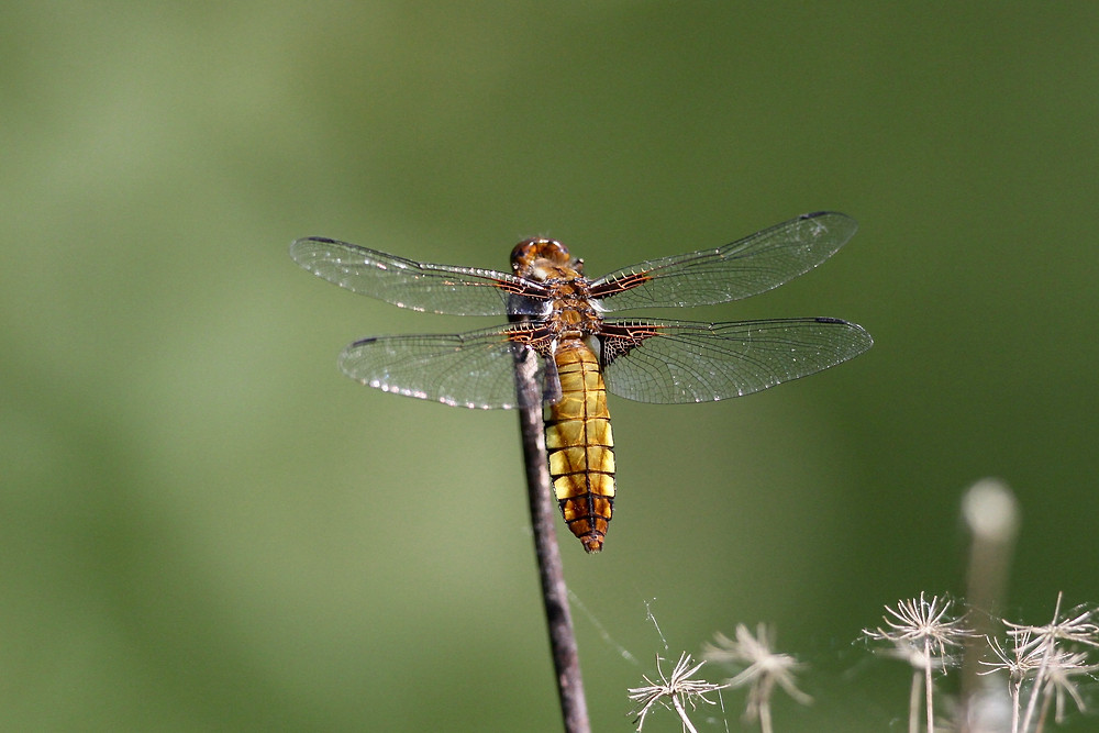 Broad-bodied Chaser - Sustead Common