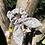 Thumbnail: Mini Chouchou Bluebells