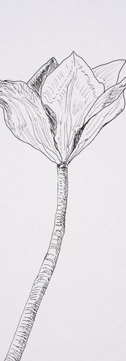 Angular Tulip (pen)