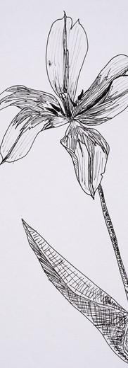 Tulip #1 (pen)