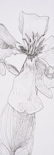 Full Tulip (pen)
