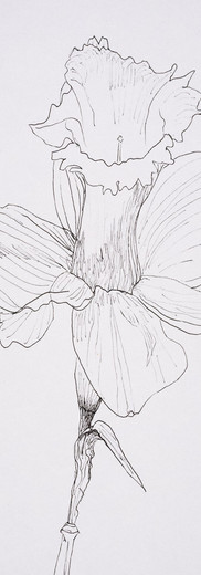 Daffodil (pen)