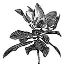 southern-magnolia-grandiflora-vintage-engraving-bull-bay-laurel-evergreen-large-flower-big