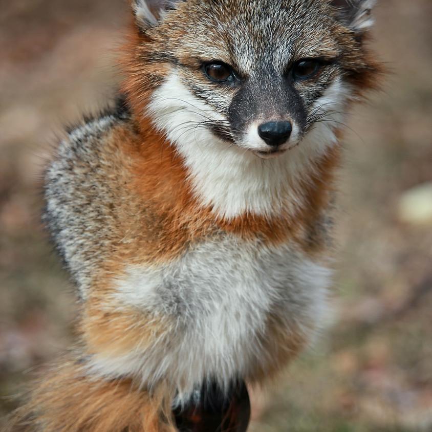 Fox Shoulder Mount Taxidermy Class
