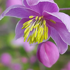 Thalictrum Freefolk Purple.jpg