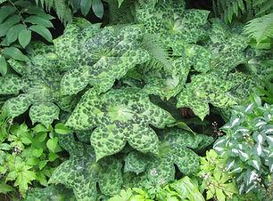 Podyphyllum 'Spotty Dotty' cm .JPG
