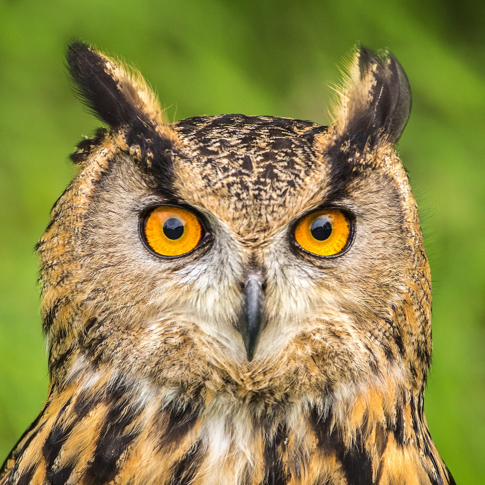 Face of an owl looking straight ahead