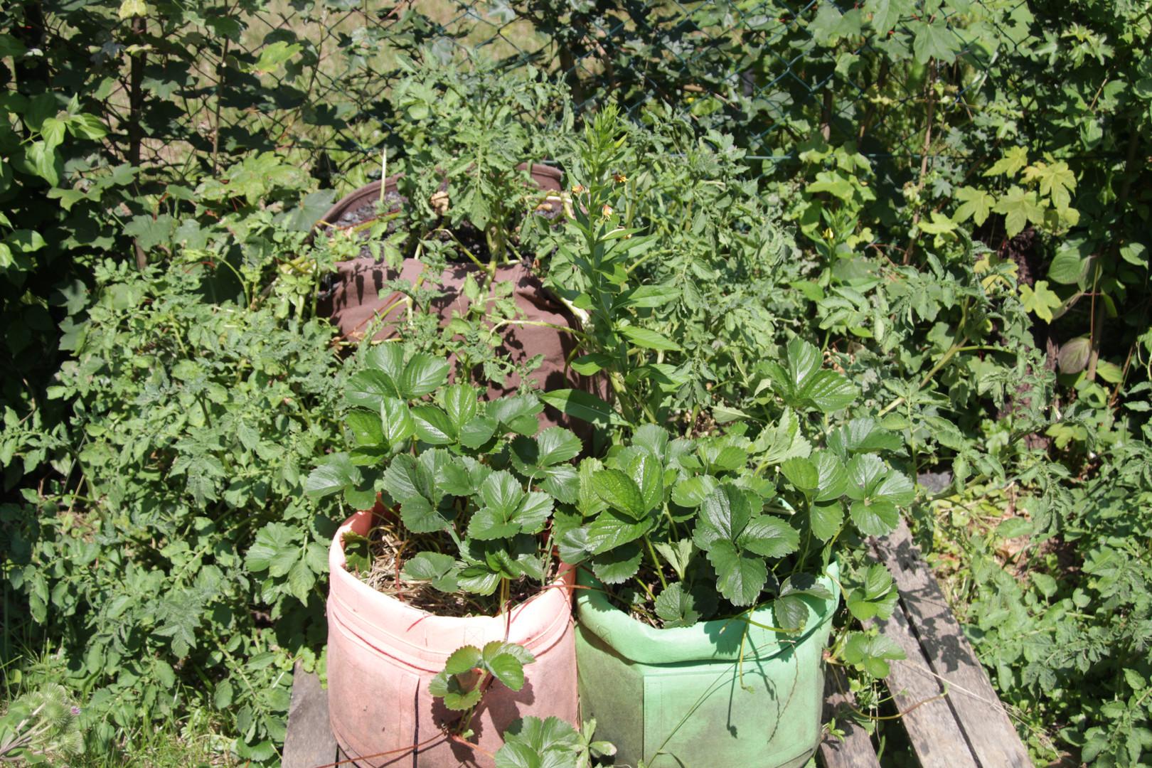 Erdbeeren und Kartoffeln in Pflanzsäcken