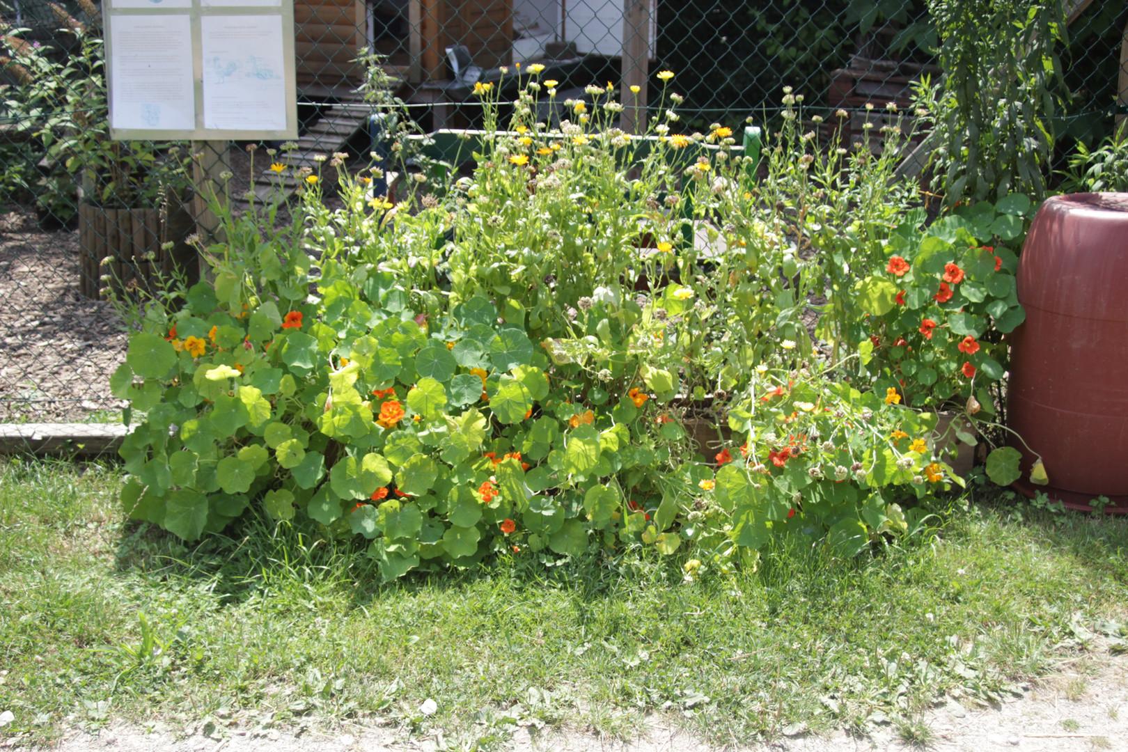 Kapuzinerkresse und Ringelblumen