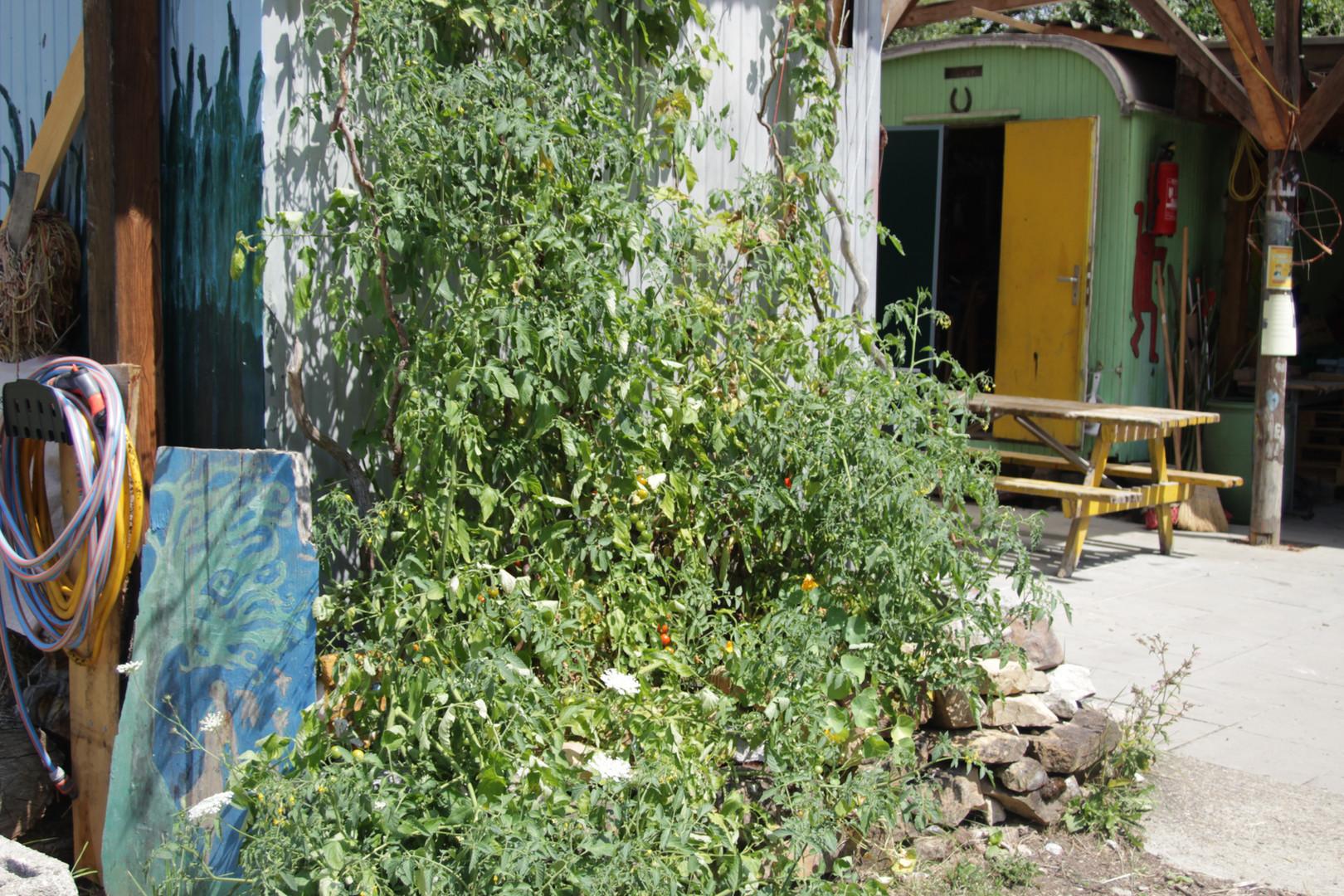 Tomaten, Basilikum und Hopfen