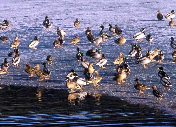 Canards colverts reproducteurs - 1er au 15 mars