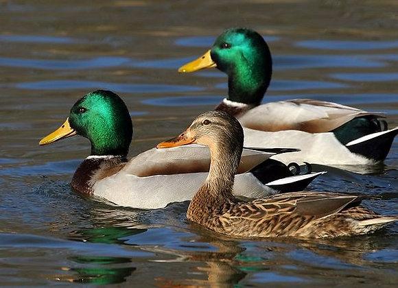 Canards colverts reproducteurs - décembre
