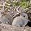 Thumbnail: Lapereaux de garenne purs (sous réserve de capture)
