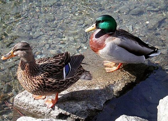Canards colverts reproducteurs - février