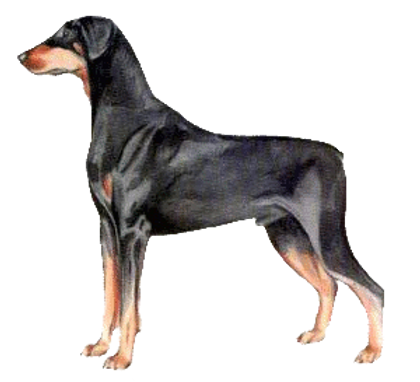 Doberman Illustration