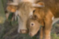 vache-veau-calins2.jpg