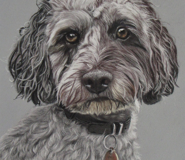 Pastel drawing of Bailey the cockerpoo