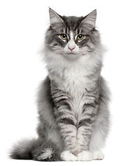 Norwegian Forest Cat, 5 months old, sitt