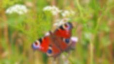 peacock-butterfly-1526939_1920.jpg