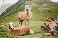 South Tyrol Horses