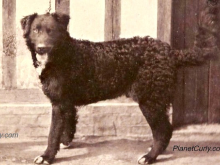 Curly-coated Retriever, Newfoundland or St. John's Dog?