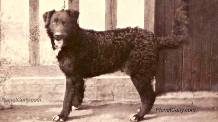 Photo of Newfoundland dog named Diamant, first prize-winner at Paris Dog Show, 1863.
